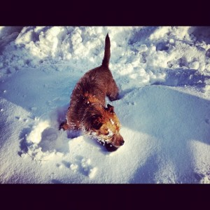 Bertie playing in the snow