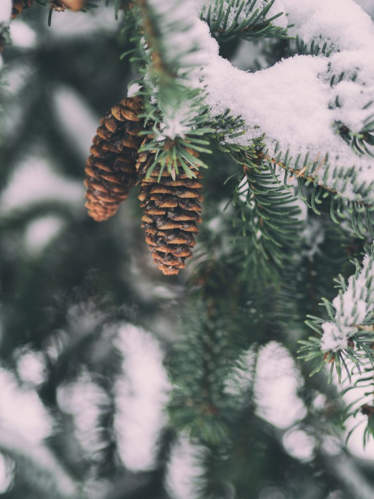 Soft focus photograph of tree with pine cones and snow on branches